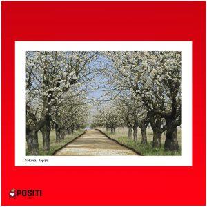 Sakura postcard